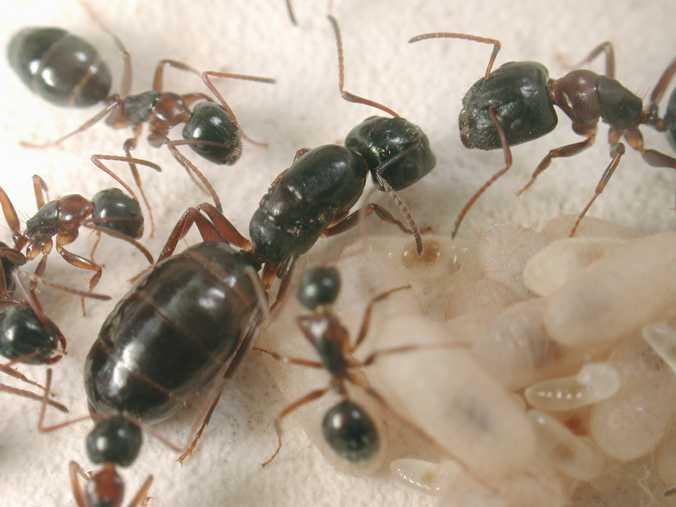 Carpenter Ant Queen